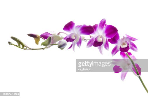 Purple Orchids Isolated on White Background : ストックフォト