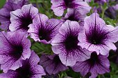 large purple petunias