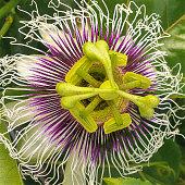 Purple possum passion flower bloom, tasty yard treat thereafter