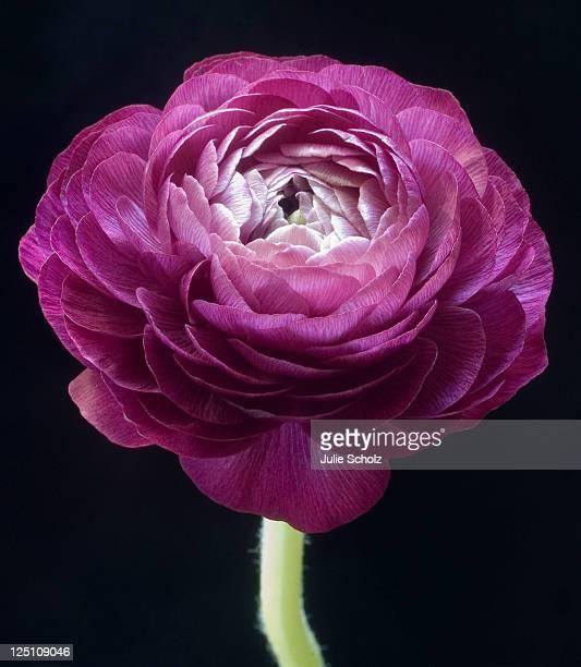 Purple ranunculus flower on black background