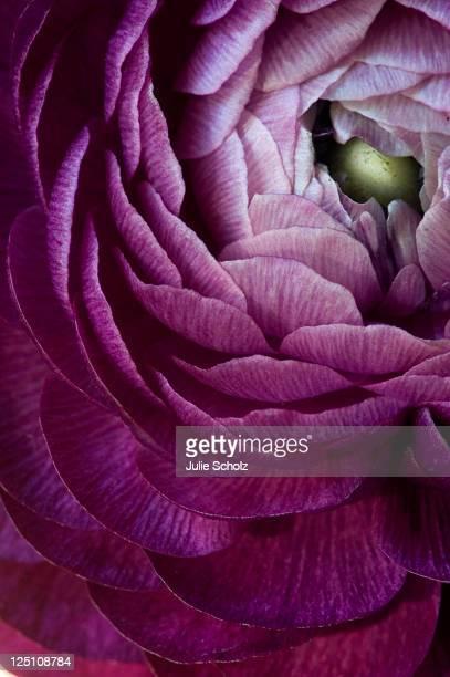 Purple ranunculus flower