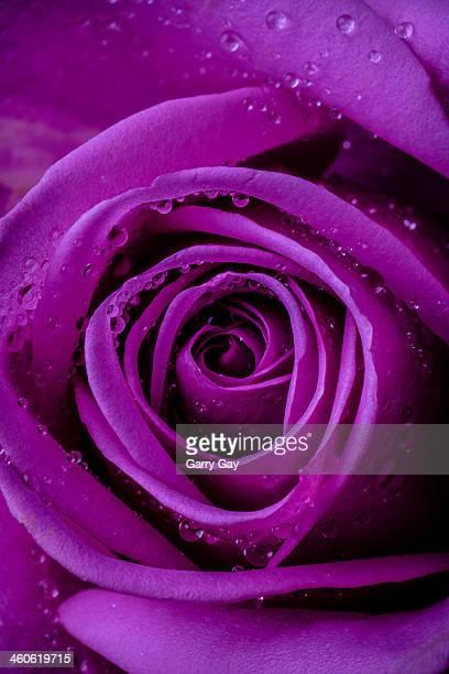 Purple Rose Close UP