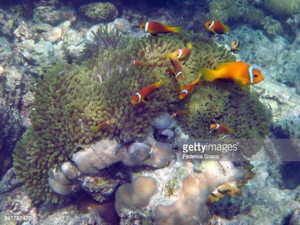 Purple Sea Anemone  (Heteractis magnifica) and Clown fish (Amphiprioninae)