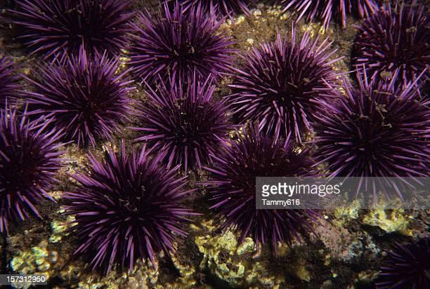 Púrpura Urchins al mar