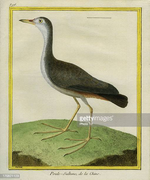 Purple Swamphen Porphyrio porphyrioPurple SwamphenGeorgesLouis Leclerc Comte of Buffon 'Natural History of birds fish insects and reptiles' coloured...