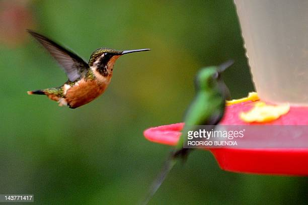 A Purple throated woodstar is seen at the private reserve of Paz de las Aves near Nanegalito Ecuador 65 Km north of Quito on April 4 2012 Ecuador is...