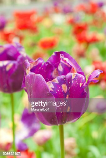Purple Tulip : Stock Photo