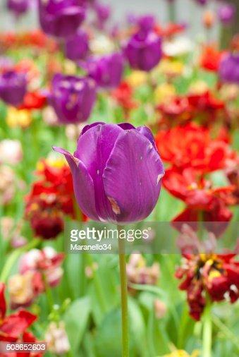 Purple Tulip : Stock Photo