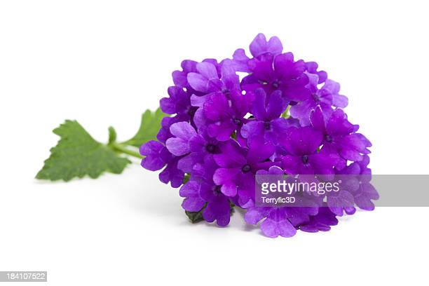 Purple Verbena Flower and Leaves on White