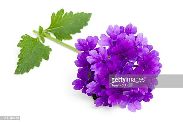 Purple Verbena Flower, Stem and Leaves on White