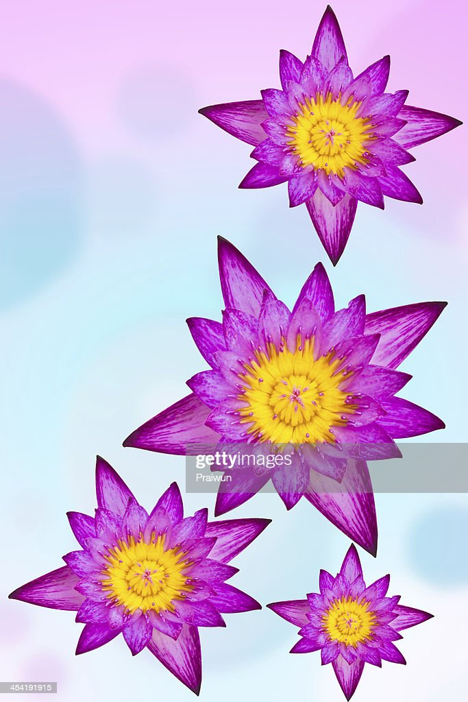Purple water lily on colorful background : Stock Photo