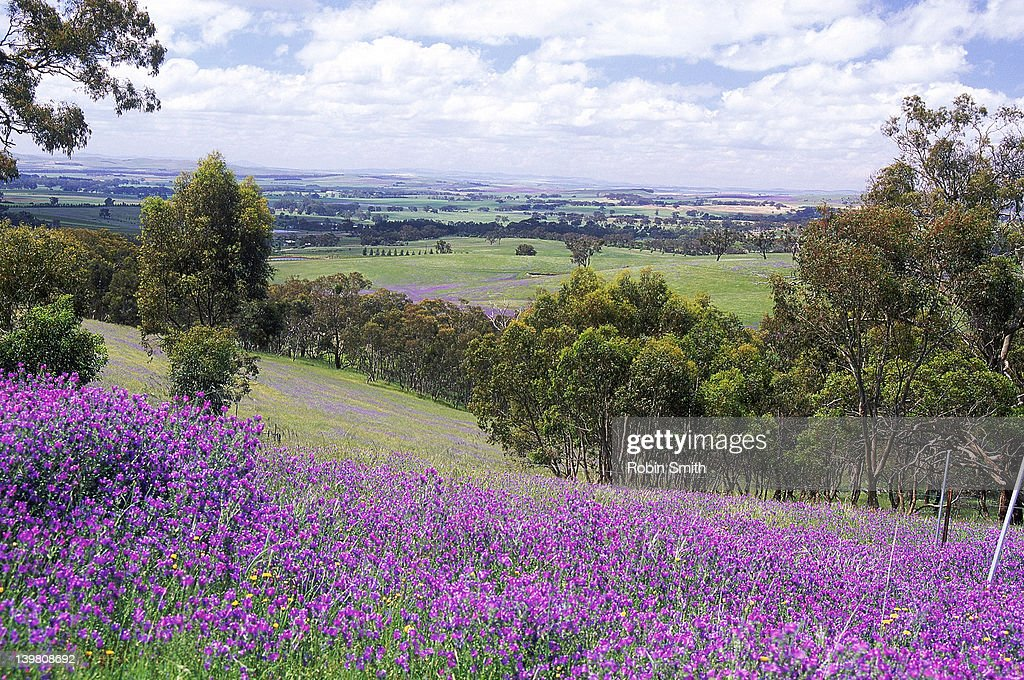 Purple weed in Polish Hill landscape, Clare Valley, South Australia