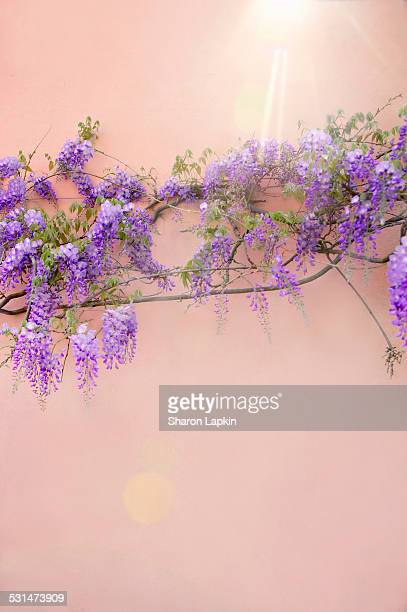 Purple wisteria on terracotta wall with lens flare