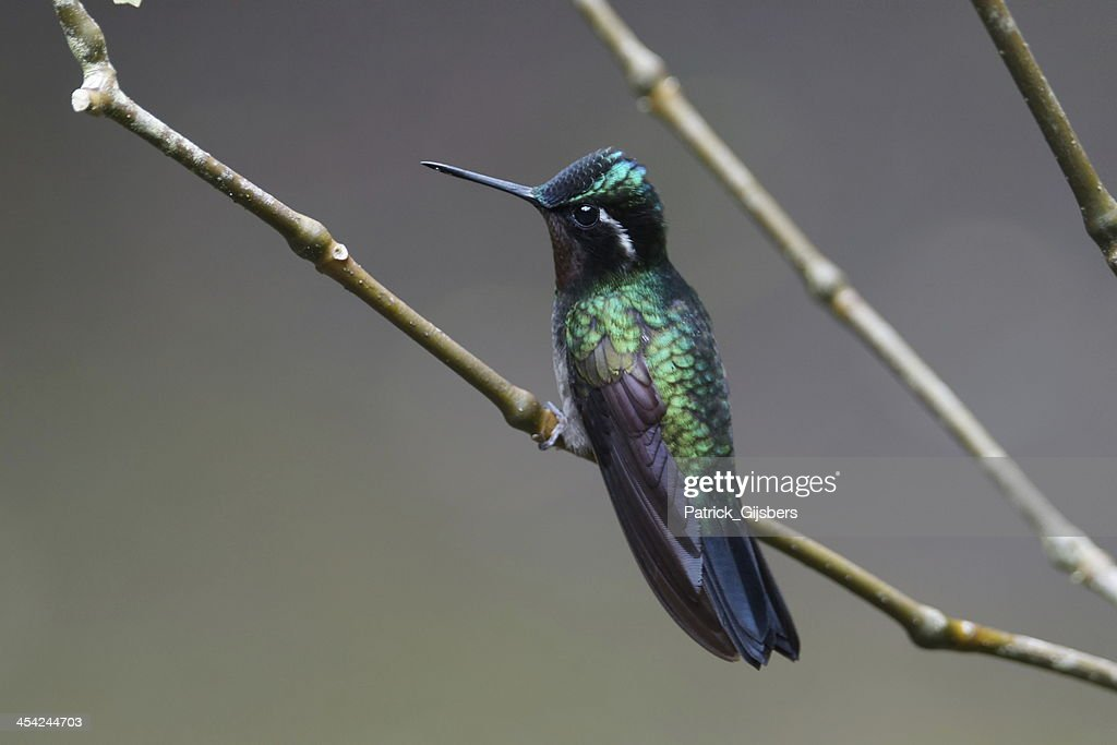 Purple-throated Mountain-Gem : Stock Photo