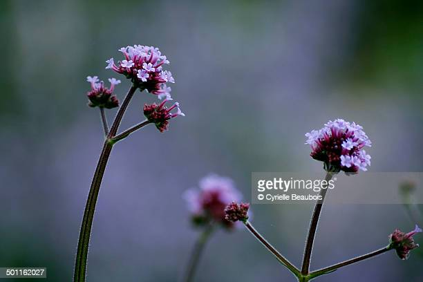Purpletop vervain (Verbena bonariensis)