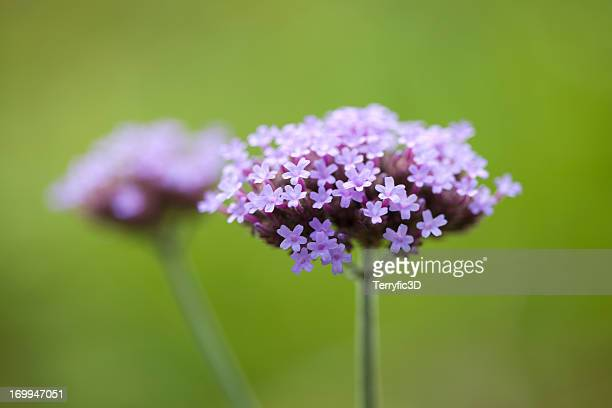 Purpletop Vervain,  Verbena bonariensis
