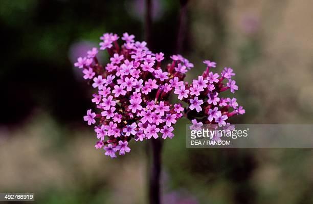 Purpletop Vervain Verbenaceae