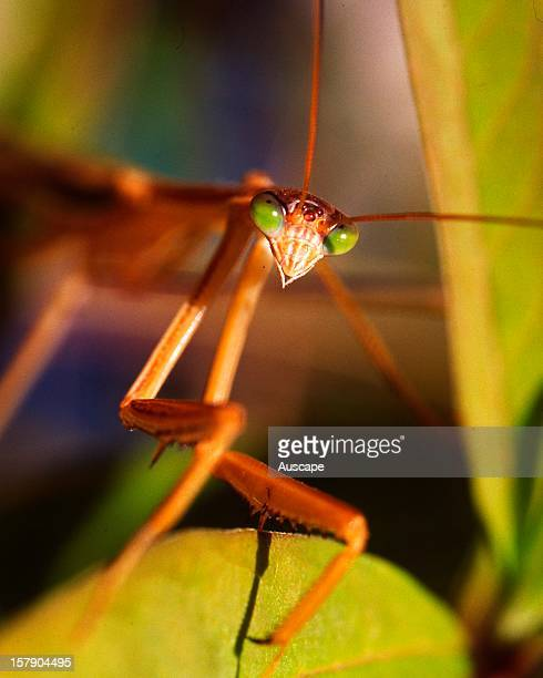 Purplewinged mantis a greeneyed mantis posing for a portrait common around gardens in most Australian States Australia