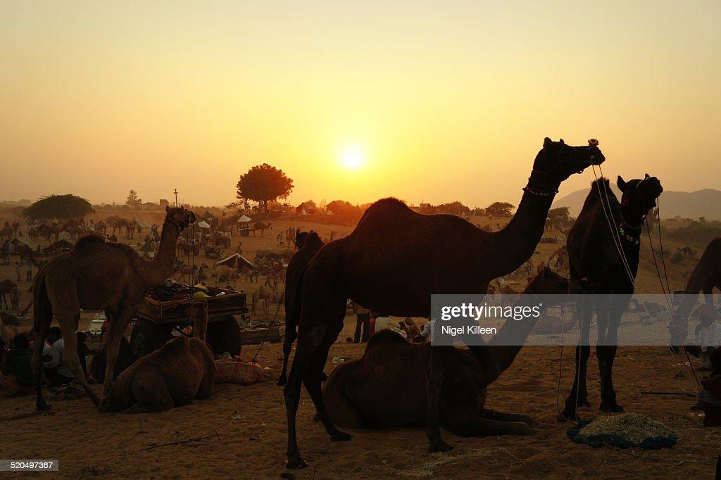 Pushkar Camel Fair at sunset