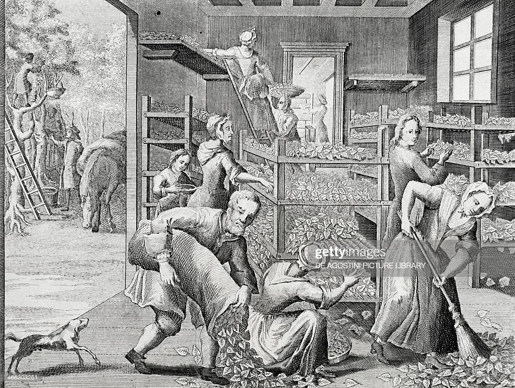 Putting leaves on shelves to feed silkworms, silkworms, 1749, engraving from Universal Magazine, London. United Kingdom, 18th century.