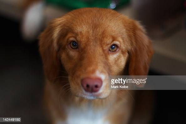 A puupy looks at the camera at the Sydney Royal Dog Show as part of the 2012 Sydney Royal Easter Show at the Sydney Showground on April 5 2012 in...