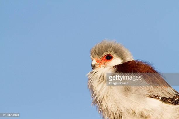 Pygmy falcon, portrait