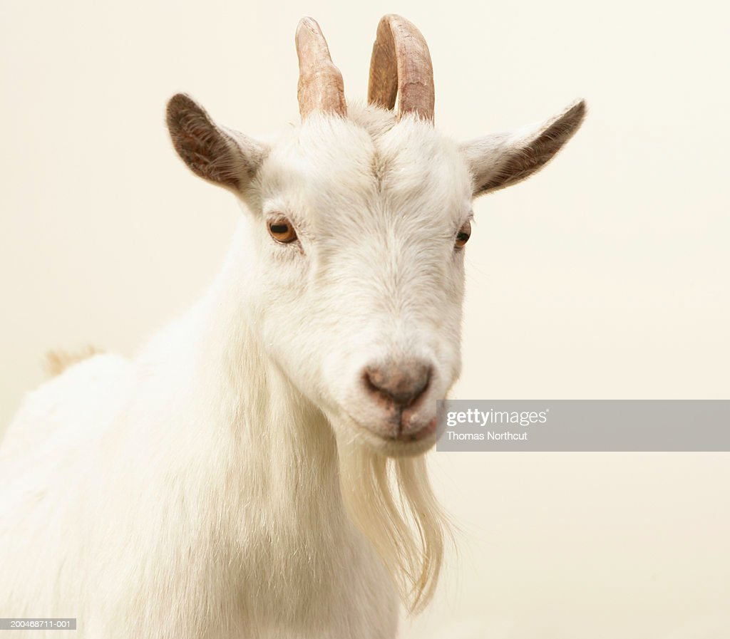 Pygmy goat : Stock Photo