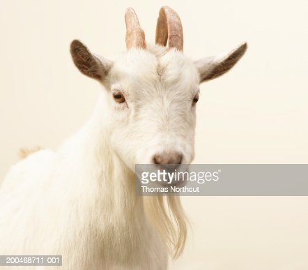 Pygmy goat : Photo