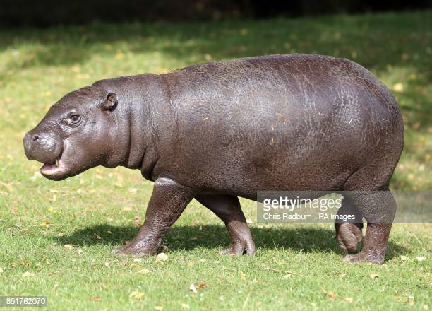 Pygmy hippo calf Georgina in her paddock at Whipsnade Zoo in Bedfordshire