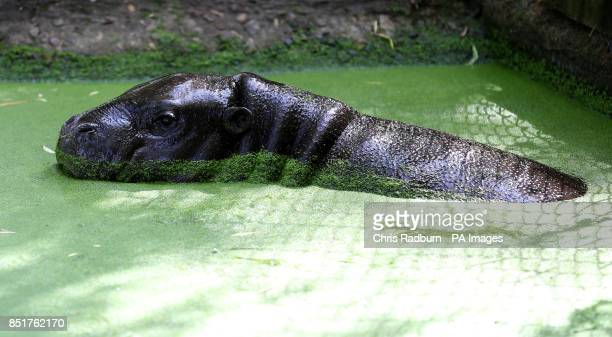 Pygmy hippo calf Georgina takes a dip in her outside pool for the first time in her paddock at Whipsnade Zoo in Bedfordshire