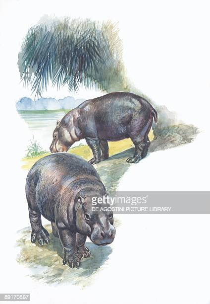 Pygmy hippopotamus by river illustration