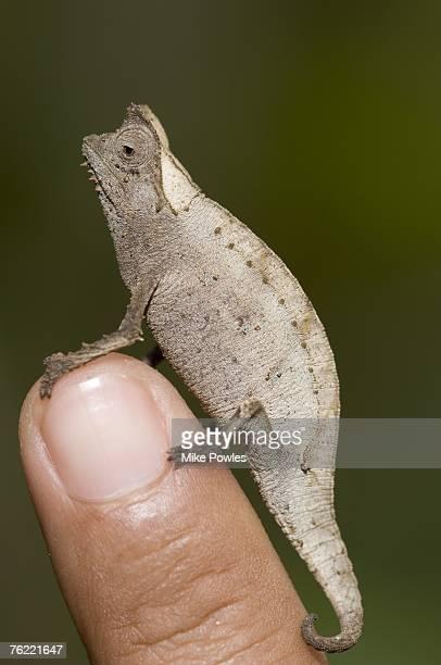 Pygmy stump-tailed chameleon, Brookesia minima, smallest true chameleon, Madagascar