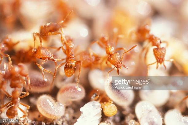 Pyramica maynei look after and protect their brood of larvae Platythyrea conradti and Pyramica maynei are two distant ant subfamilies who live side...