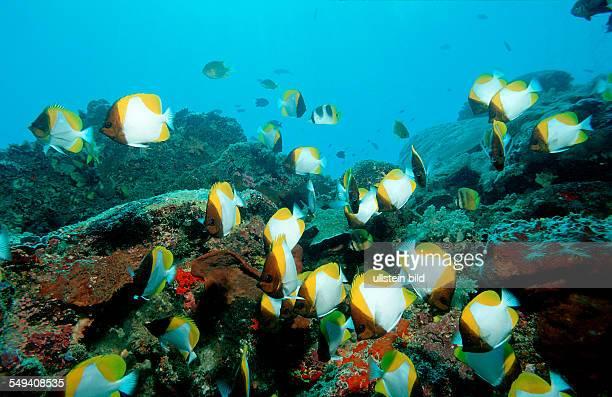 Pyramid butterflyfish Hemitaurichthys polylepis Malaysia Pazifik Pacific ocean Borneo Lankayan