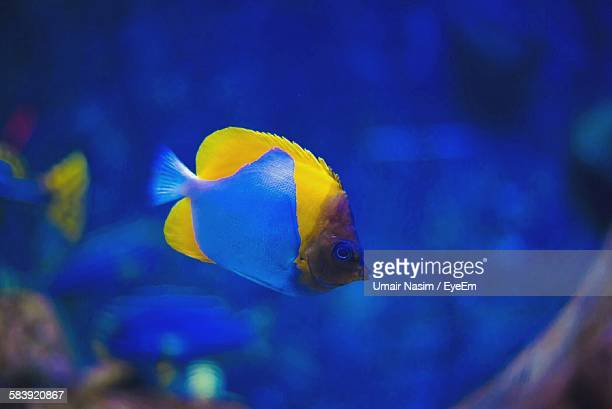 Pyramid Butterflyfish Swimming In Aquarium
