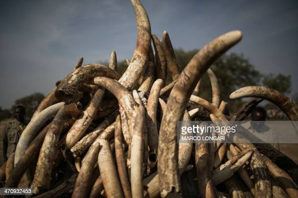 A pyre on which over a thousand kilos of elephant tusks will be incinerated is set during a ceremony marking the 50th anniversary of the Zakouma...
