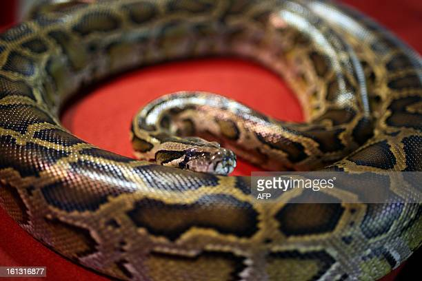 A python is shown during a snake display to celebrate the Chinese New Year at the National Zoo in Kuala Lumpur on February 10 2013 The Year of the...
