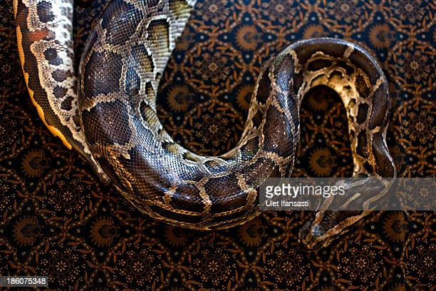 A python lays on the bed at Bali Heritage Reflexology and Spa rooms on October 27 2013 in Jakarta Indonesia The snake spa offers a unique massage...
