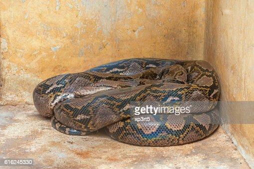 Python : Stock Photo