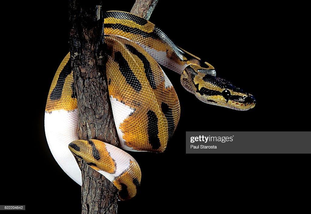 Python regius f. piebald (royal python, ball python)