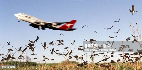 A Qantas jumbo jet takes off with the birds 5 December 1996 SMH Picture by QUENTIN JONES