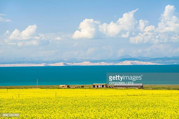 Qinghai Lake with rape flowers in west China