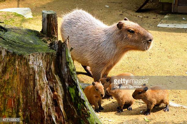Quadruplet baby capybaras follow their mother Rose at Himeji Central Park on June 12 2015 in Himeji Hyogo Japan The quadruplet were born on June 8