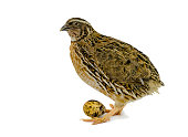 Domesticated quails are important agriculture poultry