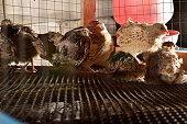 quails and eggs in a cage on a farm