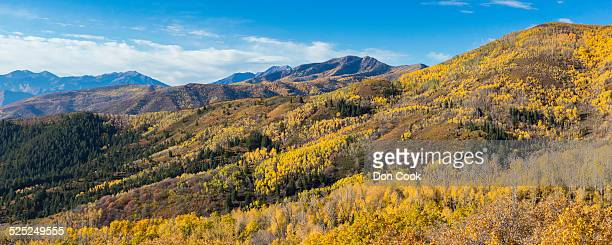 Quaking Aspen In The Wasatch National Forest, Utah