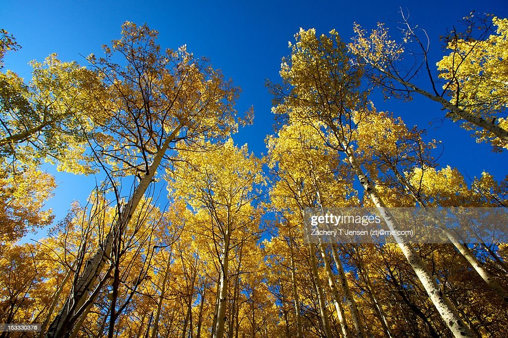 Quaking Aspens in Autumn : Stock Photo