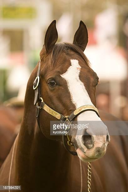 Quarter Horse Retrato de Cabeça