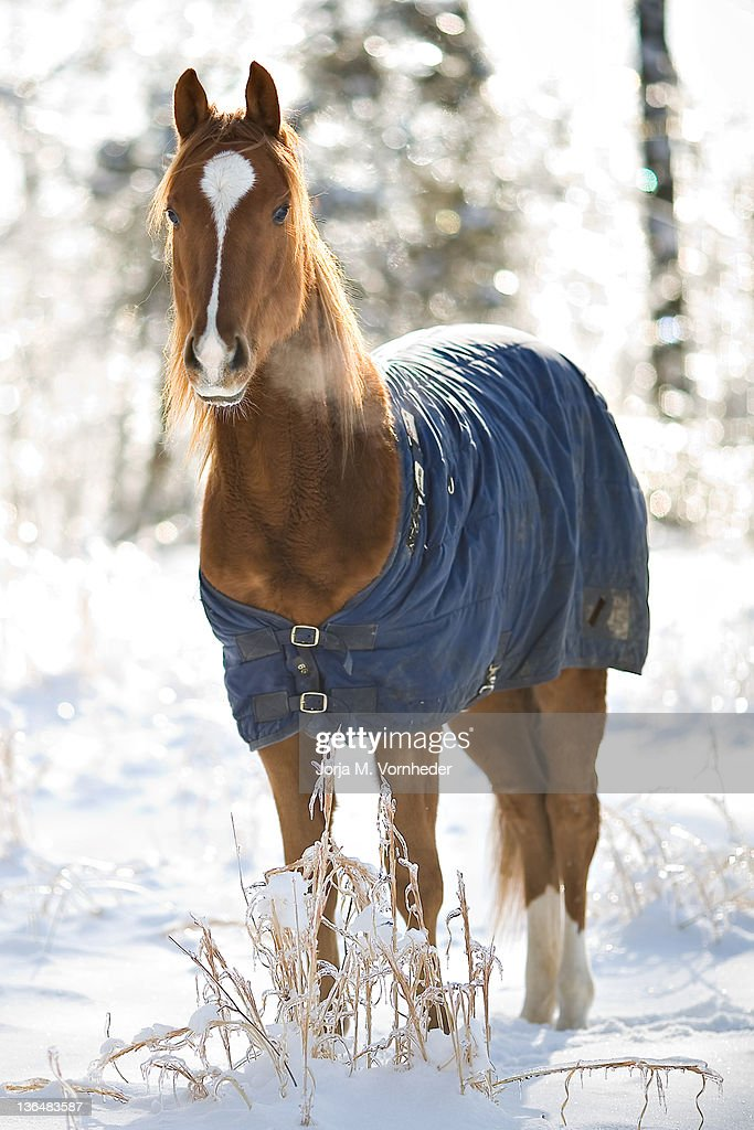 Quarter horse in winter : Stock Photo