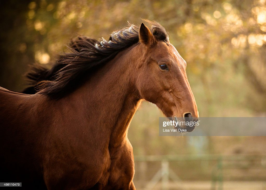 Quarter Horse Running : Stock Photo